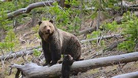 Grizzly bears on move in Rockies as hunting is in limbo