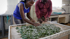 Some Kenyan farmers turn to silk production for cash