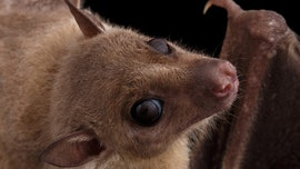 Female fruit bats take food from males in exchange for sex, study finds