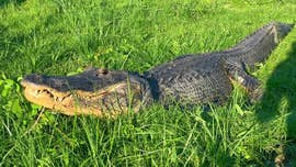 Giant alligator spotted walking down Florida street: 'Never a dull moment'