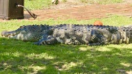 Georgia family finds massive alligator 'sunning himself' in front yard