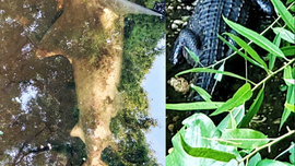 Shark, alligator found in same Florida creek: 'Never a dull moment'
