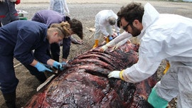 WARNING GRAPHIC IMAGES: Plastic waste appears to have killed another whale
