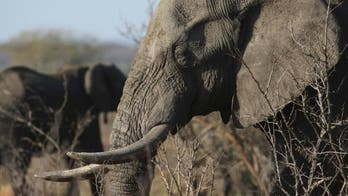 Botswana government ends ban on elephant hunting, citing conflicts with humans