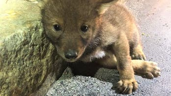 Massachusetts trooper responds to call of injured dog, finds coyote pup
