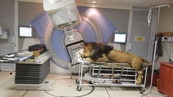 Incredible pictures show lion undergoing cancer treatment at South African hospital