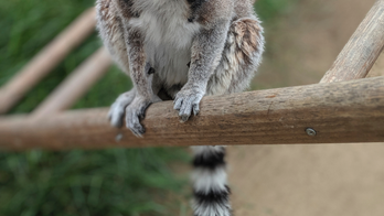 California teen faces year in jail after stealing lemur from zoo in late-night heist