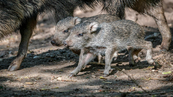 2 rare mammals, Chacoan peccaries, born in Prague zoo