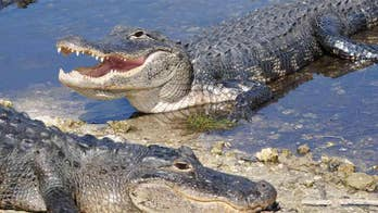 Alligator bites bigger, bellowing gator in Florida, video shows: 'It was exciting to see'