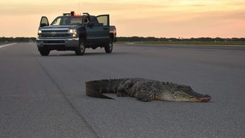 'Friendly' alligator wanders onto Florida Air Force base, lounges on runway