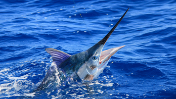 Marlin jumps into boat, slashes two fishermen: 'Like being stuck with a sword'