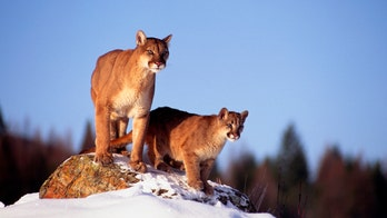 Montana men who killed mountain lion at Yellowstone sentenced to 3-year worldwide hunting ban