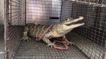 Alligator captured in Pittsburgh park after trying to hide from officers