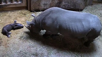 Rare eastern black rhinoceros born at Chicago zoo, officials say