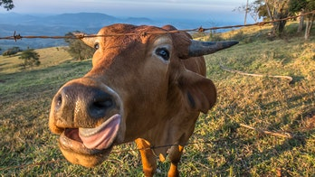 Austrians told to stop kissing cows after bizarre challenge sweeps social media