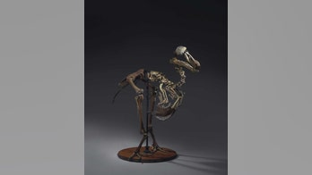 Rare dodo skeleton up for auction, could sell for $750G