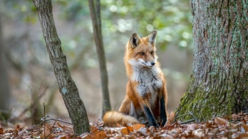 Maine man kills fox with shovel after it attacks woman, chases dogs