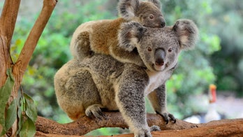 Koalas are now 'functionally extinct,' experts say