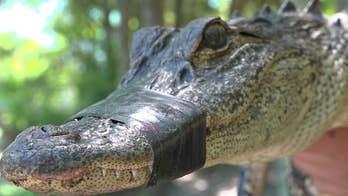 8-foot alligator knocks down wrangler beside Texas highway, video shows