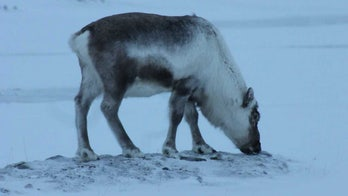 Reindeer are eating seaweed to survive climate change, scientists say