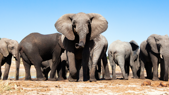 Botswana lifts ban on elephant hunting. Conservationists are appalled.