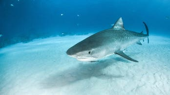Fisherman claims to smash 38-year record with 'truly special' tiger shark catch
