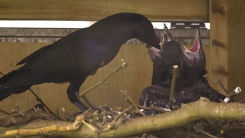 Tower of London welcomes new ravens, ensuring the kingdom won't crumble