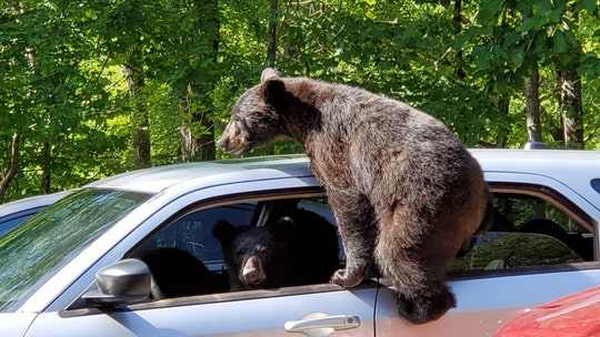 Family of bears overruns man's car in Tennessee