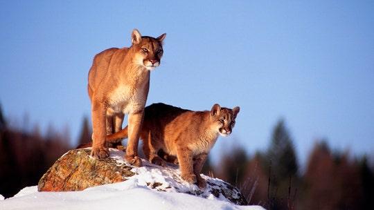 Montana men who killed mountain lion at Yellowstone sentenced to 3-year worldwide hunting ban