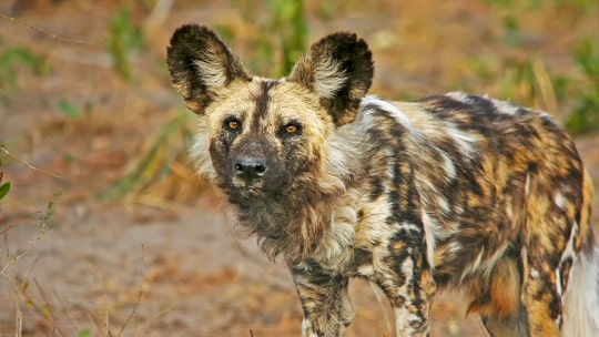 Endangered African painted dog pup killed at Florida zoo in 'guillotine door' accident