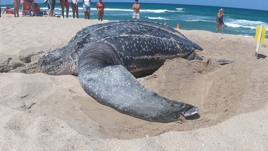 Giant leatherback sea turtle nests on Florida beach in broad daylight: 'A rare occurrence'