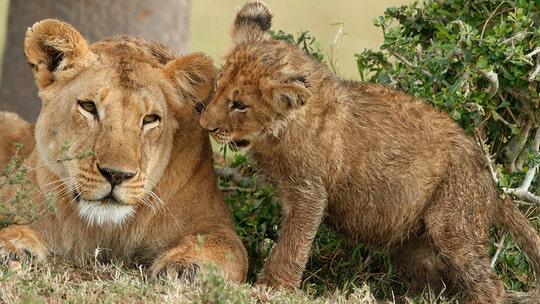 4-year-old's scalp torn off by lion in South Africa after girl got too close to cub: reports
