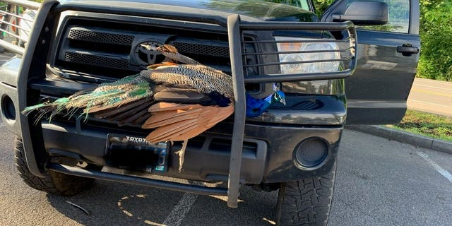 An Oregon woman said she hit a peacock while driving 50 mph on Highway 224.