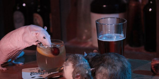 "The tourist hot spot known for its interactive tours through history, featuring live actors and thrilling special effects, is opening its Rat Bar as the ""next iteration of what the Department of Public Health"" will allow, according to a press release."