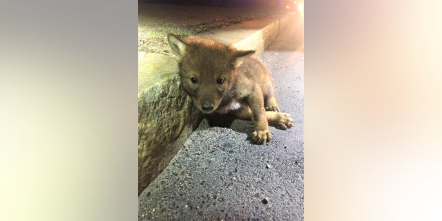TrooperCarlo Mastromattei discovered a coyote pup when he responded to a call about a wounded dog earlier this month.