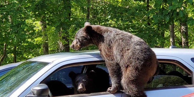 Three cubs had some fun in a car in Tennessee last week.