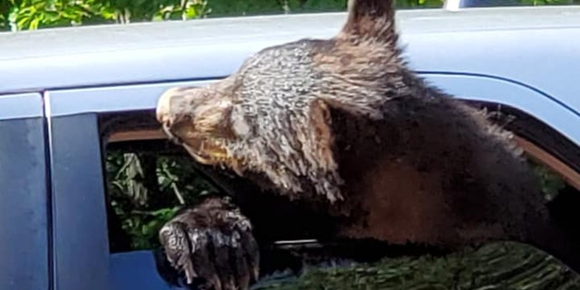 Chad Morris said he was in Gatlinburg, Tenn., when he spotted bears taking over his vehicle.