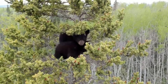 Video grab from footage of the two orphaned bear cubs stranded high in s huge spruce tree near Cecil Lake, British Columbia. (SWNS)