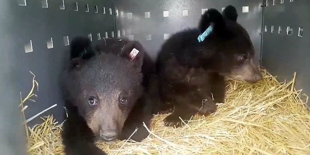 Video grab the two bear cubs after their rescue. (SWNS)