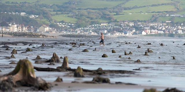 BORTH, WALES - MAY 24: A general view of petrified ancient trees on May 24, 2019 in Borth, Wales. A prehistoric forest which was buried under water and sand more than 4,500 years ago has been uncovered on the beach between Ynys-las and Borth in mid-Wales. The forest has become associated with the myth of a sunken civilization, known as Cantrer Gwaelod, or or the Sunken Hundred, and devotees believe the area was a once-fertile land and township stretching for 20 miles. The remains of the forest's trees, preserved in the local peat, have been exposed by low tides and high winds from the recent Storm Hannah. (Photo by Matthew Horwood/Getty Images)