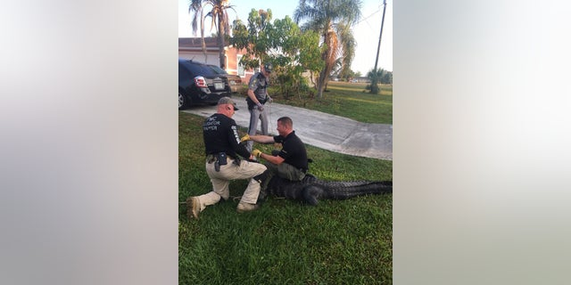 Officials from the Collier County Sheriff's Office had to be called in to wrangle a 9-foot alligator who was discovered near a children's school bus stop in Florida on Thursday morning.