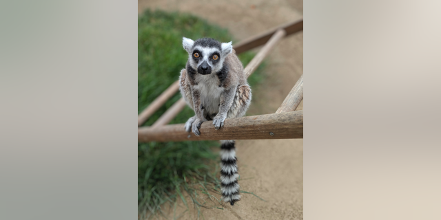 This undated photo provided by the Santa Ana Zoo shows a ring-tailed lemur at the Santa Ana Zoo in Santa Ana, Calif. (Santa Ana Zoo via AP)
