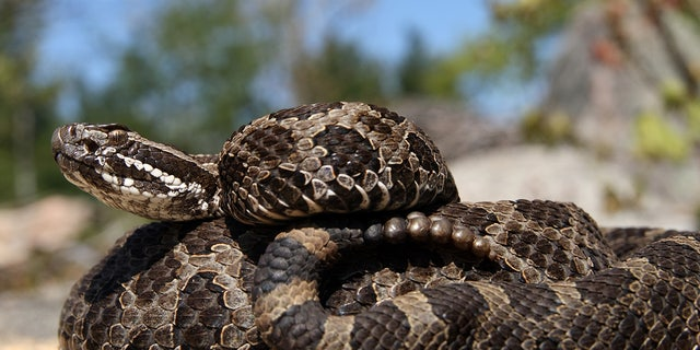 The Eastern massasauga rattlesnake is Michigan's only venomous snake, according to the state's Department of Natural Resources. The snake also has populations in Ontario, Canada, New York, Pennsylvania, Ohio, Indiana, Illinois, Wisconsin and Iowa, according to the Fish and Wildlife Service.