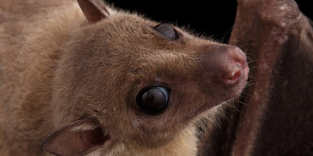 Male Egyptian fruit bats exchange food for sex, a new study from Tel Aviv University has found. (Stock image)