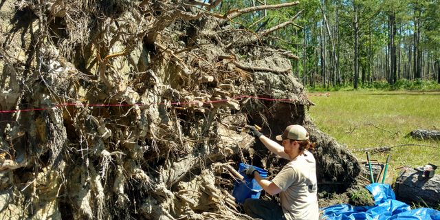 Andrea Repp, Forest Service Archeologist, measures the holes created by the uprooting of large pine trees in the area.