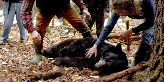 FILE - This April 13, 2018 file photo, shows Mink the bear after she had been tranquilized in Hanover, N.H. After being fitted with a tracking collar, the bear was relocated to far northern New Hampshire.