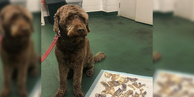 Ozzie, a 9-year-old labradoodle, can be seen next to the cash he ate after a letter came in through his owner's letterbox on Monday.
