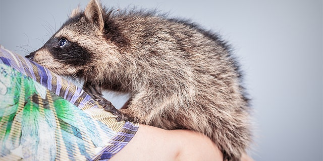 A pet raccoon named Bandit has been euthanized after the wild animal attacked a 6-year-old girl in Michigan, according to a report. (iStock)