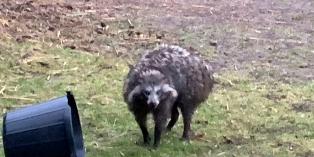 File photo - A raccoon dog on the loose in Clarborough, Nottinghamshire, U.K.