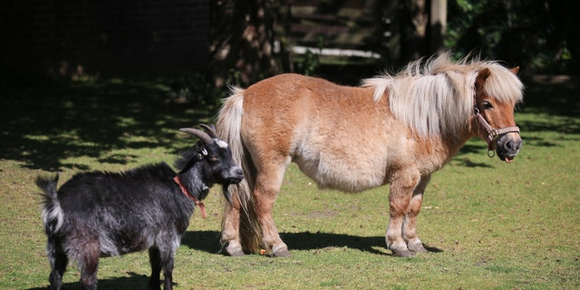 Mandy Marsh's pet pony, Peaches, and goat, Betty, were terrorized by the raccoon dog.(SWNS)
